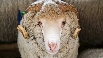 NITA-FARM participation in the Russian Exhibition of Breeding Sheep and Goats